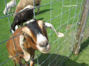 Playful Goat pushes head through fence and makes you want to smile.